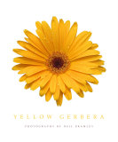 Yellow Gerbera Photographic Print by Neil Bramley
