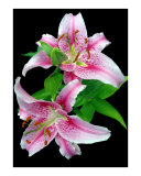 Pale Pink Stargazer Lily Photographic Print by Susan Parslow