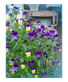 LeAnns Violets Photographic Print by Lorrie Morrison