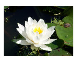 Water Lily Photographic Print by Oksana Fox