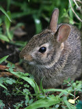Eastern Cottontail Rabbit, Tyler, Texas Photographic Print by Dr. Scott M. Lieberman