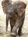 Baby Elephant's First Public Appearance, Zoo of Berlin, Berlin, Germany Photographic Print by Michael Sohn