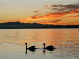 Two Swans Glide across Lake Chiemsee at Sunset near Seebruck, Germany Photographie par Diether Endlicher