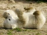 Polar Bear Cub, Berlin, Germany Fotografisk trykk av Franka Bruns