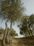 Ghaf, Emirates Desert Tree, Dubai Photographic Print by Nousha Salimi