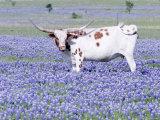 Longhorn Grazing on Bluebonnets, Midlothian, Texas Fotografisk tryk af Pat Sullivan