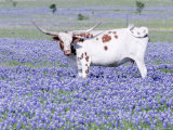Longhorn Grazing on Bluebonnets, Midlothian, Texas Photographic Print by Pat Sullivan