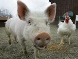 Pigs across America, Ravenna, Ohio Fotografie-Druck von Amy Sancetta
