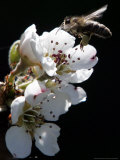 Bee and Pear Blossom, Bruchkoebel, Germany Photographic Print by Ferdinand Ostrop