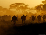 Wildebeests and Zebras at Sunset, Amboseli Wildlife Reserve, Kenya Photographic Print by Vadim Ghirda