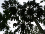 Sabal Palms near Border Fence, Brownsville, Texas Photographic Print by Eric Gay