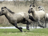 Wild Konik Stallions near Gelting, Germany Photographic Print by Heribert Proepper