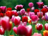 Gouttes d'eau scintillantes sur des tulipes en fleur dans un champ près de Freiburg, Allemagne Photographie par Winfried Rothermel