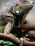 Green Iguana at Exotic Animal Exhibition, Sofia, Bulgaria Photographic Print by Petar Petrov