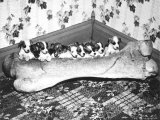 Pups and Bones, Goshen, Indiana, c.1953 Photographic Print
