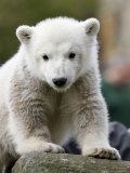 Sick Polar Bear Cub, Berlin, Germany Photographic Print by Michael Sohn