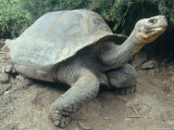 Giant Turtle, Santa Cruz Island, Galapogos Islands Photographic Print by Dolores Ochoa