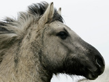 Wild Horse Konik, Geltinger Birk Reserve, Germany Photographic Print by Heribert Proepper