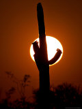 Saguaro Cactus Sunset, Picacho Peak, Arizona Photographic Print by Matt York