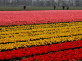 Workers amidst Fields of Tulips and Daffodils near Sint Maartensvlotbrug, Netherlands Photographic Print by Peter Dejong