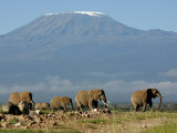 Elephants Backdropped by Mt. Kilimanjaro, Amboseli, Kenya Fotografisk tryk af Karel Prinsloo