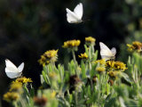 Butterflies Land on Wild Flowers at Boca Chica, Texas Photographic Print by Eric Gay
