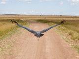 Karibu over a Dirt Road, Masai Mara Wildlife Reserve, Kenya Photographic Print by Vadim Ghirda