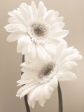Two Daisies Julisteet tekijänä Carol Sharp