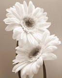 Two Daisies Posters af Carol Sharp