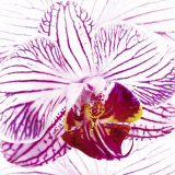 Orchid I Prints by Mel Allen