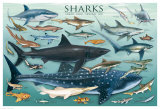Sharks Giclee Print