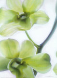 Orchid I Prints by Annemarie Peter-jaumann
