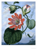 The Winged Passion Flower Giclee Print by Sydenham Teast Edwards