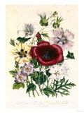 Hibiscus Africanus, Malope Trifeda and Lavatera Trimestra, c.1800 Giclee Print