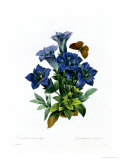 Gentianae Acaulis Giclee Print by Pierre-Joseph Redout&#233;