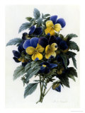 Pansies Giclee Print by Pierre-Joseph Redouté