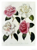 Blooms of Various Flowered Camellia Giclee-trykk av Augusta Withers