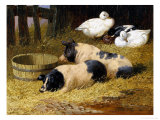 Saddleback Pigs and Ducks in a Farmyard Giclee Print by John Frederick Herring II