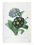 Primula Auricula Giclée-Druck von Pierre-Joseph Redouté