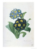 Primula Auricula Giclee Print by Pierre-Joseph Redout&#233;