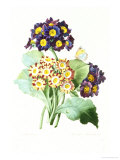 Oreilles d'Ours and Primula Auricula Giclee Print by Pierre-Joseph Redouté