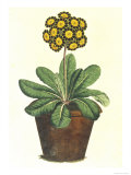 Pot of Auricula, c.1800 Giclée-Druck