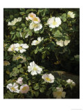 Dog Roses in Flower Giclee Print by Niels Rasmussen