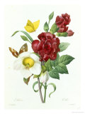 Botanical Study of Hellebore Giclee Print by Pierre-Joseph Redout&#233;