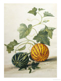 Study of Gourds Reproduction proc&#233;d&#233; gicl&#233;e par Pieter Withoos