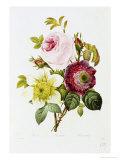 Study of Pink Roses and Convulvulus Giclée-Druck von Pierre-Joseph Redouté