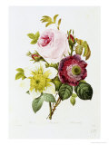 Study of Pink Roses and Convulvulus Giclee Print by Pierre-Joseph Redouté