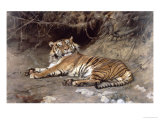 Tiger Gicl&#233;e-Druck von Geza Vastagh
