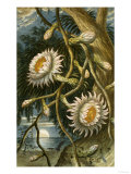 Night-Flowering Cactus, c.1874 Giclee Print