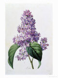 Lilacs Giclee Print by Pierre-Joseph Redout&#233;